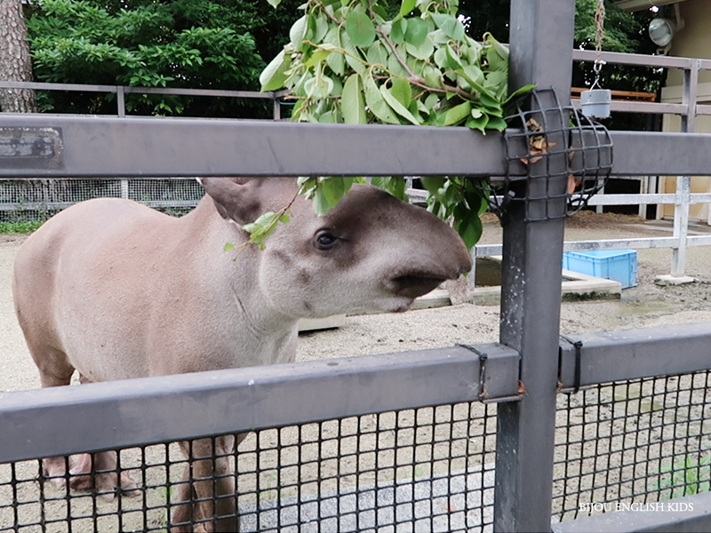 tapir at the Kyoto City Zoo